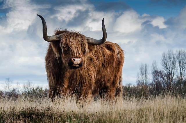 牛に追いかけられる(襲われるような)夢