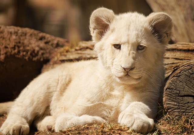 白いライオンの夢占い