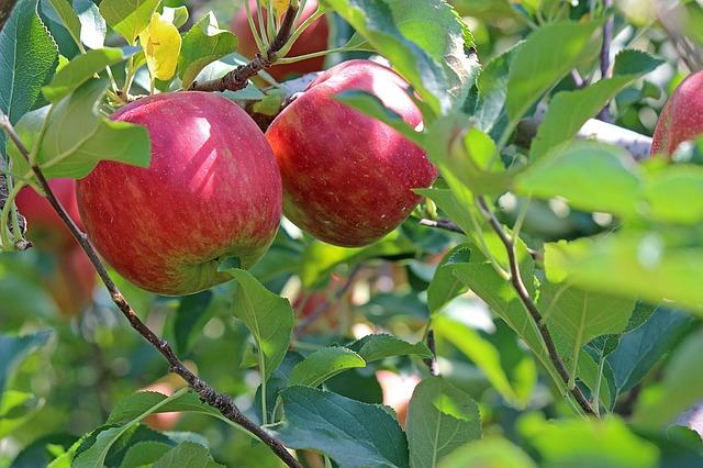 りんごの木にたくさんのりんごが実っている夢