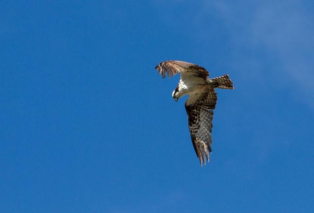 鷹が獲物を捕まえてくる(狩りをしている)夢