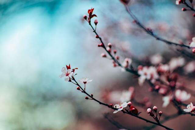 桜の咲き始めを見る(桜のつぼみを見る)夢占い