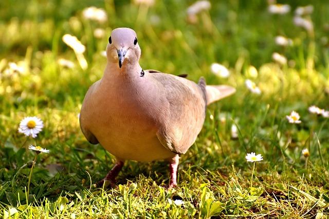 鳩を助ける(怪我している鳩を助ける、保護する)夢占い