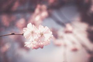桜の夢占い