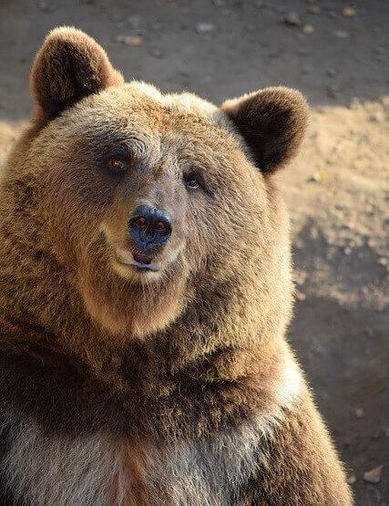 熊と仲良くなる夢占い