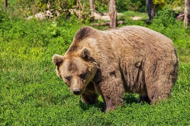 熊に噛まれる、ひっかかれる(襲われる)夢占い