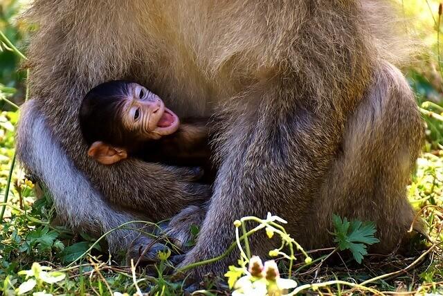 猿の赤ちゃんの夢占い