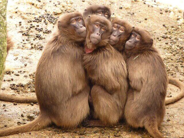 猿がたくさん(猿の群れ)の夢占い